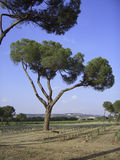 Four ways to the sky. A nice shot of an stone pine tree taken in Priorat region of Spain stock photos
