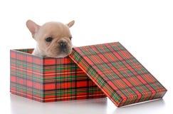 Four week old french bulldog. Wearing christmas scarf on white background Stock Photo