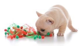 Four week old french bulldog. Wearing christmas scarf on white background Stock Images