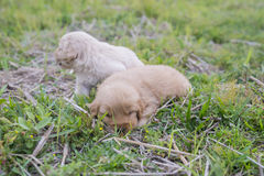 Four week old golden retriever puppy outdoors on a sunny day. Royalty Free Stock Photography