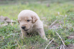 Four week old golden retriever puppy outdoors on a sunny day. Royalty Free Stock Image