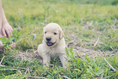 Four week old golden retriever puppy outdoors on a sunny day. A baby dog so happy Stock Image