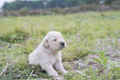 Four week old golden retriever puppy outdoors on a sunny day. A baby dog so happy Royalty Free Stock Images