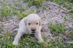 Four week old golden retriever puppy outdoors on a sunny day. A baby dog so happy Stock Photo
