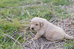 Four week old golden retriever puppy outdoors on a sunny day. Royalty Free Stock Photo
