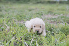 Four week old golden retriever puppy outdoors on a sunny day. Stock Images