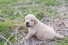 Four week old golden retriever puppy outdoors on a sunny day. A baby dog so happy Royalty Free Stock Image