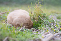 Four week old golden retriever puppy outdoors on a sunny day. Stock Image