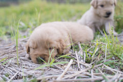 Four week old golden retriever puppy outdoors on a sunny day. A baby dog so happy Stock Photography
