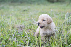 Four week old golden retriever puppy outdoors on a sunny day. Stock Photos