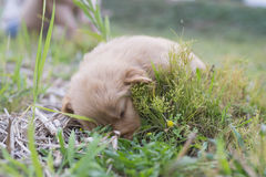 Four week old golden retriever puppy outdoors on a sunny day. Stock Photography