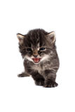 Four week old kitten meow Royalty Free Stock Image