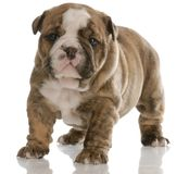 Four week old puppy Stock Photography