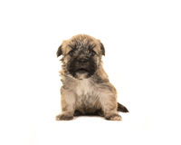 Four weeks old brown boomer dog puppy sitting facing the camera with its mouth open Stock Photography