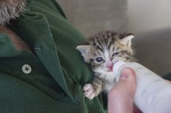 Four weeks old Kitten drinking out of the bottle. Fed by a man Stock Photos