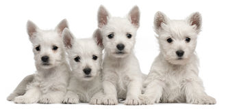 Four West Highland Terrier puppies, 7 weeks old. In front of white background stock photography