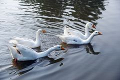 The four white color long neck Indian runner ducks. royalty free stock photos
