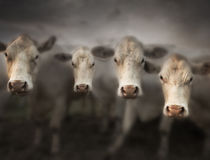 Four white cows Stock Image