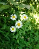 Four white Daisies with leaves royalty free stock photo