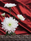 Four white daisies valentines day card background with red satin and woven basket Stock Photos