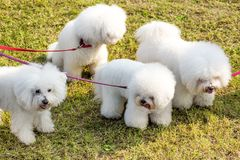 Four white dogs Bichon Frise. Is being walked in the park, viewed from high angle in close-up on green lawn, held by red leashes royalty free stock photo