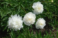 Four white double peonies in june. Four white double flowered peonies in june Royalty Free Stock Photography