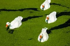 Four white ducks on green lake Royalty Free Stock Photo