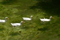 Four white ducks swam across a green lake. Four white ducks swam across a green lake. Animals. White ducks stock image