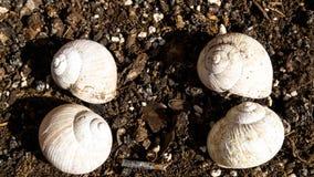Four white empty snail shells. Four empty empty snail shells on the ground Stock Photo