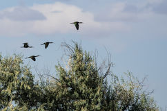 Four White-faced Ibis Flying High Above the Marsh Royalty Free Stock Photography