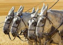 Four white horses. Royalty Free Stock Photo