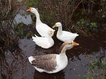 Four white house geese. Royalty Free Stock Photo