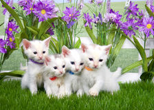 Four white kittens in a flower garden royalty free stock images