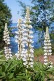 White Lupine on the Lake Superior Shoreline royalty free stock photo