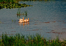 Four White Pelicans Royalty Free Stock Image