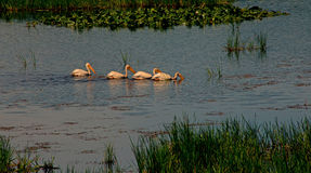 Four White Pelicans Swimming In Line Royalty Free Stock Images