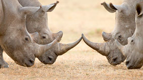 Four White Rhino's  locking horns. Four White Rhinoceros bulls (Ceratotherium Simum) locking horns and interacting in the Kruger National Park (South Africa Royalty Free Stock Image
