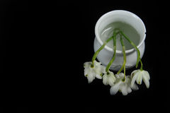 Four White Snowdrops in White Jar Against Black. Closeup photo of four white snowdrop flowers in tiny white jar.  Horizontal photo against black background with Stock Photography