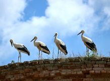 Four white storks are standing on the edge of the old wall Stock Photo