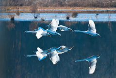 Four White Swam Flying Over Still Blue Water. With Reflections Underneath Royalty Free Stock Photo