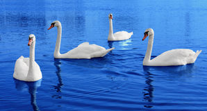 Four white swans floats in blue water Stock Image
