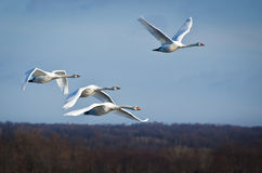 Four White Swans Flying in a Blue Sky Stock Images