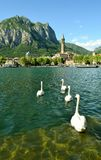 Four white swans swimming to Lecco centre. Stock Photo