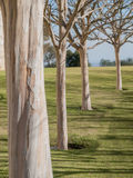 Four White Sycamore Trees Stock Photography