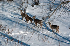 Four White Tail Does in Winter Royalty Free Stock Photos