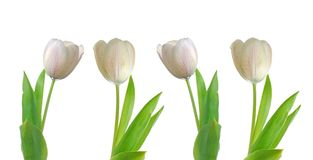 Four White Tulips Stock Images
