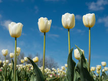 Four white tulips in a tulip field Royalty Free Stock Photos