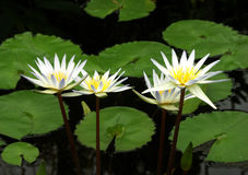Four White Water Lilies. In pond with lily pads Stock Image