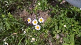 Four white wild chrysanthemum flowers Royalty Free Stock Photo