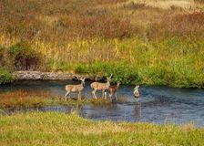 Four Whitetail Bucks Royalty Free Stock Photos